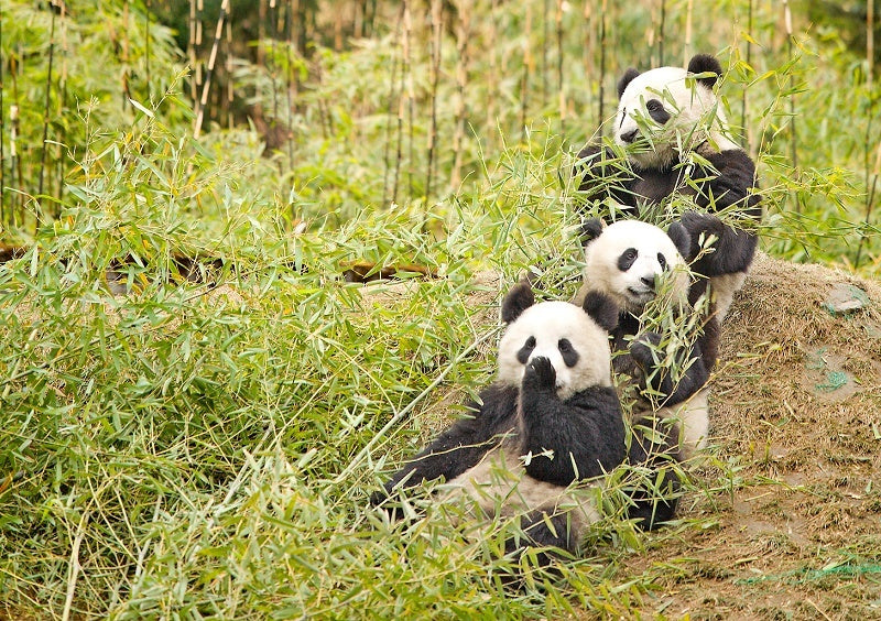 A group of pandas is called an embarrassment.