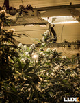 closeup-cannabis-plant-with-luxx-lighting-fixture