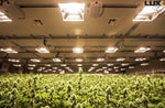 large-grow-room-with-luxx-1000-de