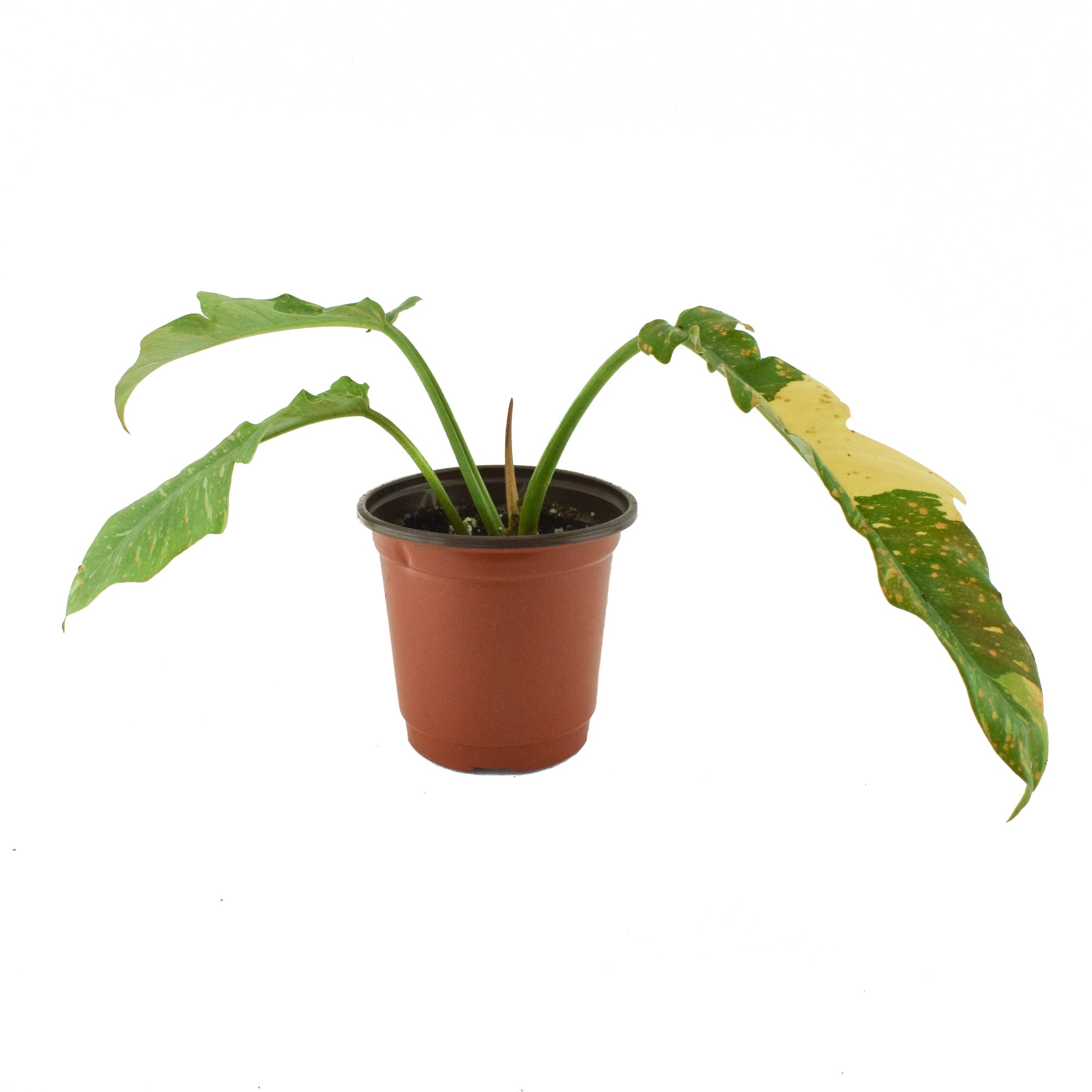 Philodendron Ring of Fire (Tiger Tooth) - A