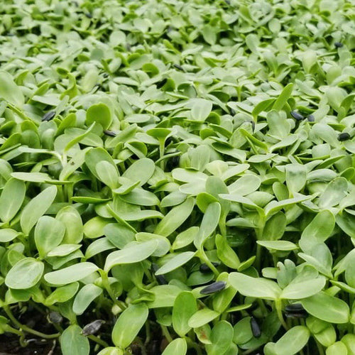Micro Sunflower greens, (1/4 lb)