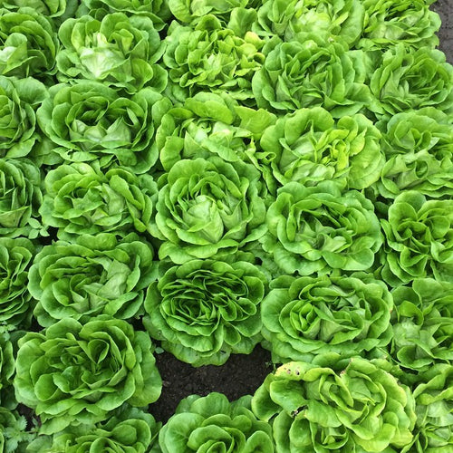 Lettuce, Little Gems (1 lb)