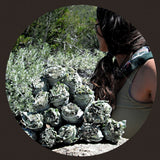 California White Sage | Herbs | Green Witch Creations - greenwitchcreations