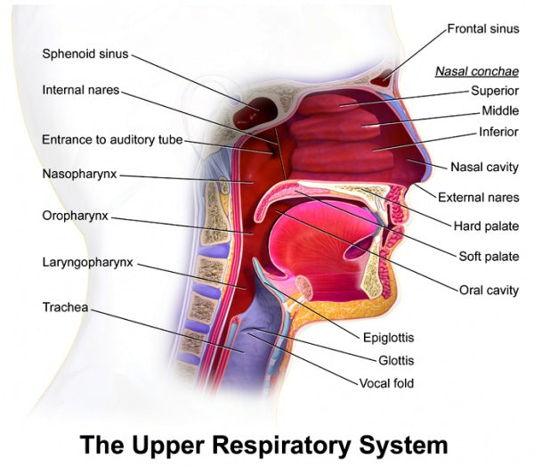 How Your Voice Is Created - Voice Production - The Upper Respiratory System