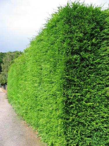 Tall Hedge
