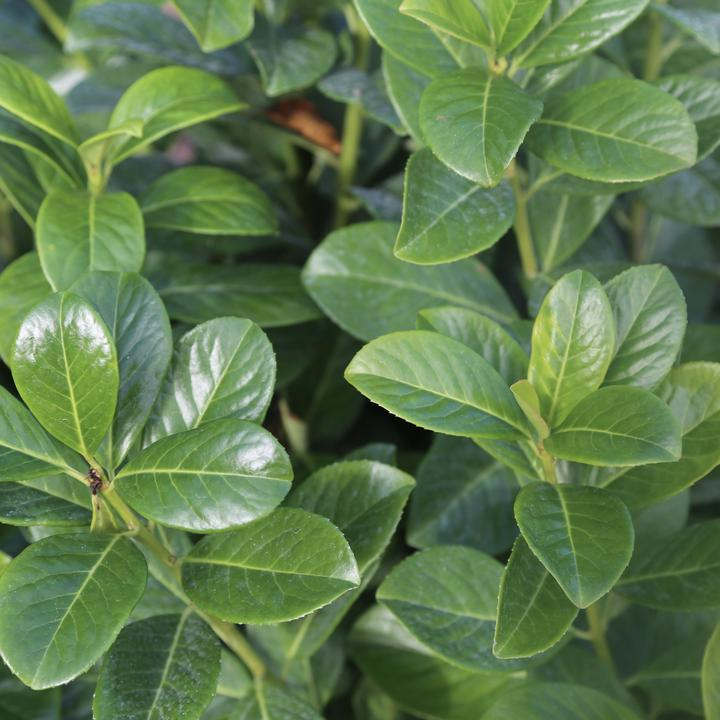 Container Grown Hedging