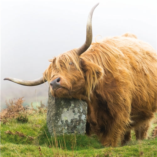 Highland Cow Greetings Card