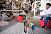 Load image into Gallery viewer, Neko Ngeru Cat Adoption Cafe - Petone