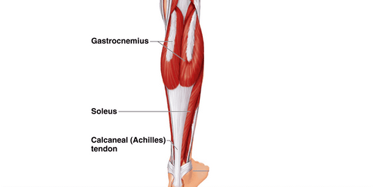 Structure of the calf for physio article about the calf heart attack