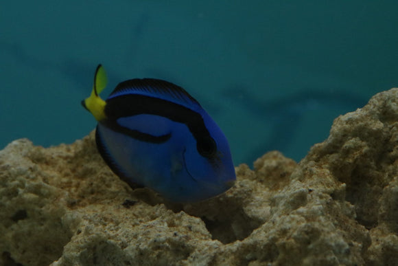 Regal Tang Md