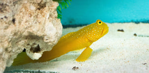 Sulphur Goby Md