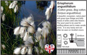 Pond Plant 1L - Cotton Grass - Eriophorum Angustifolium