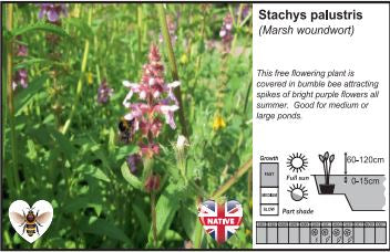 Pond Plant 1L - Marsh Woundwort - Stachys Palustris