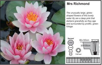 Water Lily 3L - Nyphaeaceae Mrs Richmond