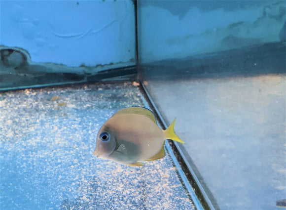 Carribean Blue/Yellow Tang Sm
