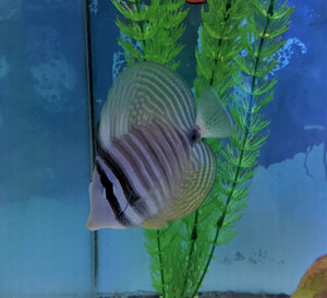 Pacific Sailfin Tang - Md