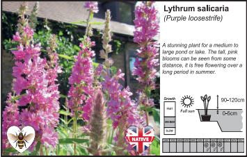 Pond Plant 1L - Purple Loosestrife - Lythrum Salicaria