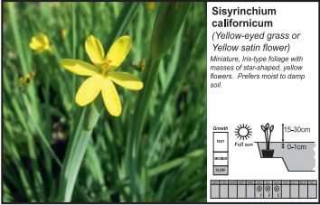 Pond Plant 1L - Yellow Eyed Grass - Sisyrinchium Californicum