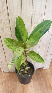 Caring for your Ficus Elastica