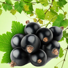 Black Currant Vanilla Fragrance Oil