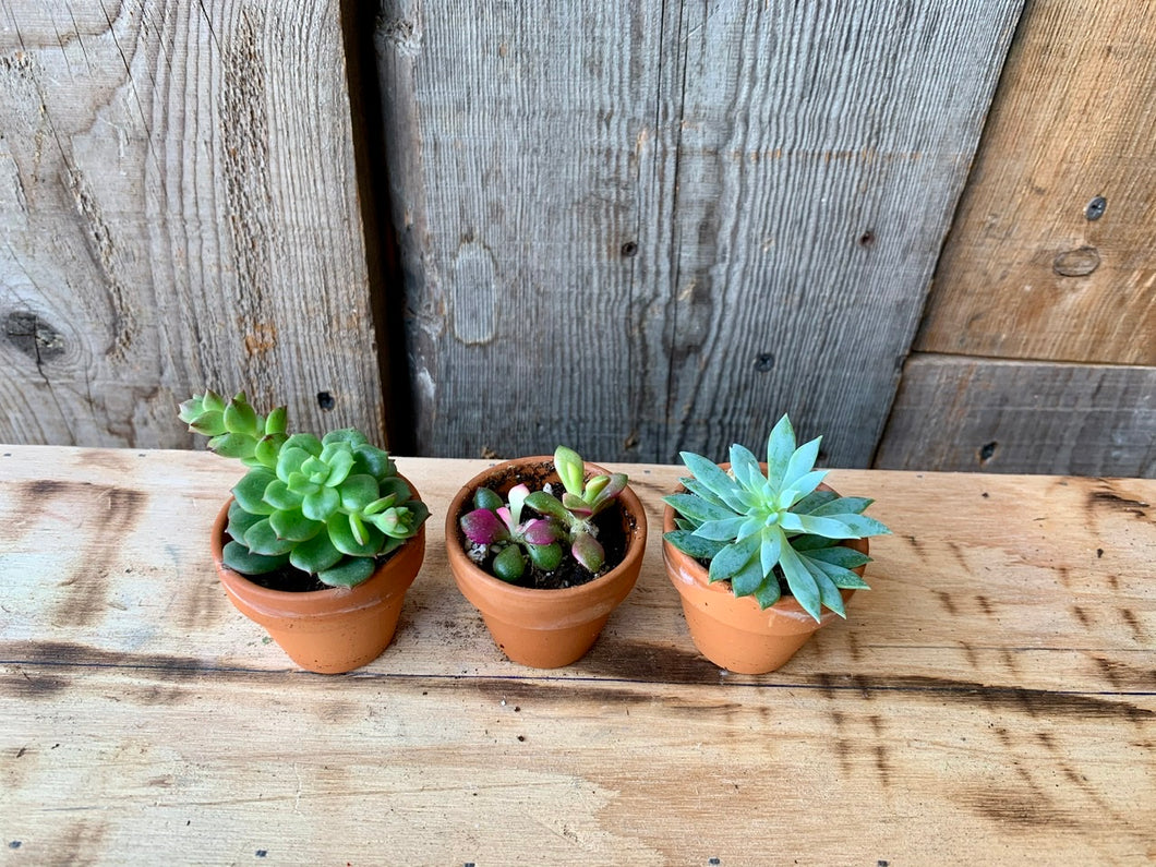Succulents (all sizes)