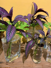 Load image into Gallery viewer, Strobilanthes dyeriana (Persian shield )