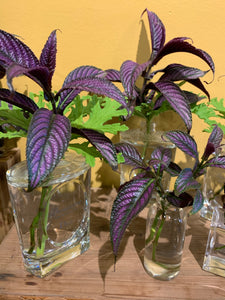 Strobilanthes dyeriana (Persian shield )