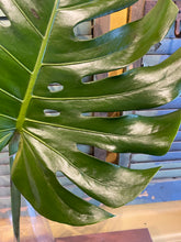 Load image into Gallery viewer, Monstera leaf