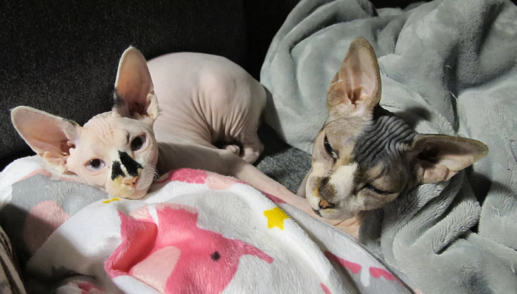 two cute sphynx cats