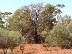 Sustainability of Wild Western Australian Sandalwood