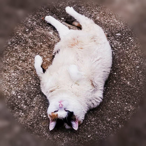 large white calico cat laying on her back,  outside on pavement, looks to be squinting up at camera, almost as if she just woke up