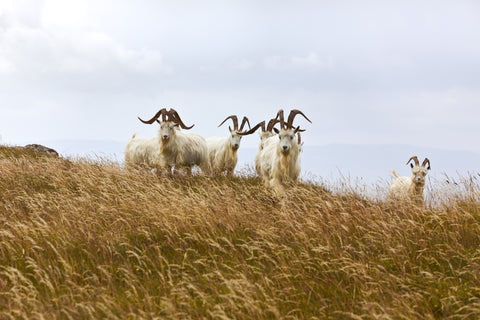 Great Orme Wild Kashmir Goats
