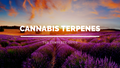 Cannabis Terpenes Found In Hemp: The Ultimate Guide