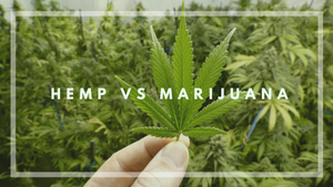 What is the difference between Hemp, Marijuana and Cannabis in New Zealand?
