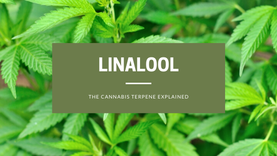 The Cannabis Terpene Linalool Explained