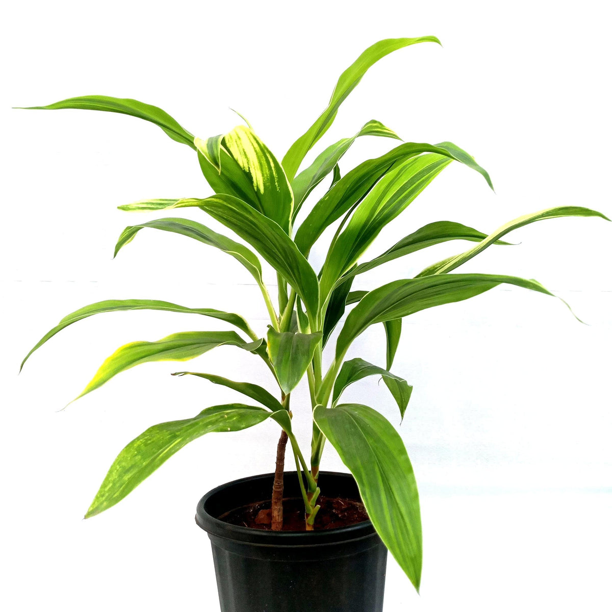 Cordyline fruticosa'Lemon & lime' - 10'' pot size