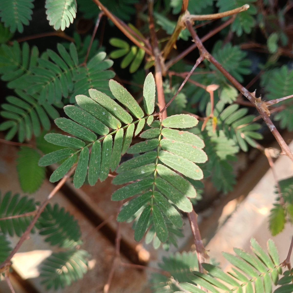 Mimosa pudica -10x10 bag size