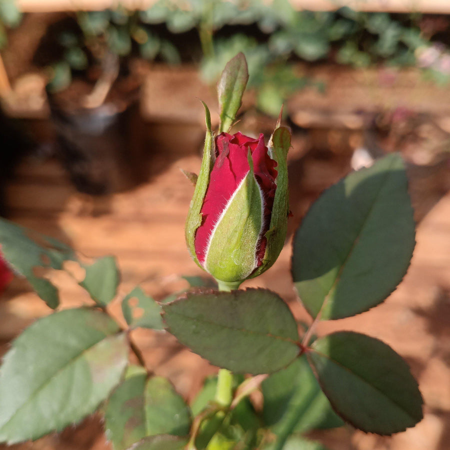 Rosa indica HT - 10x10 bag size - Jagtap Nursery's Garden Center