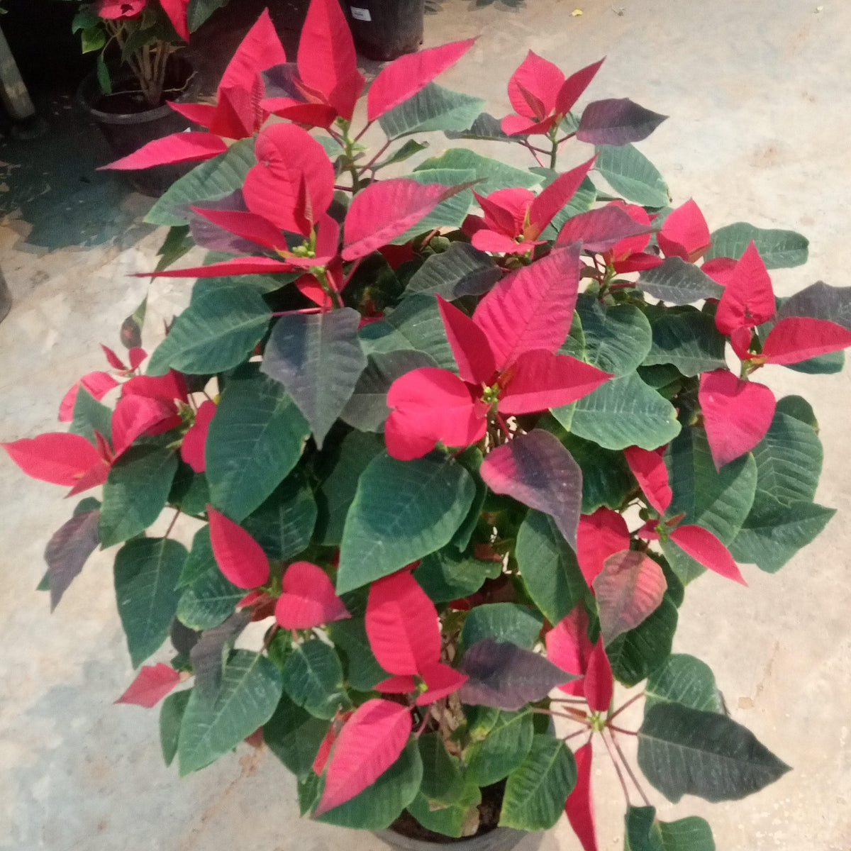 Poinsettia Red