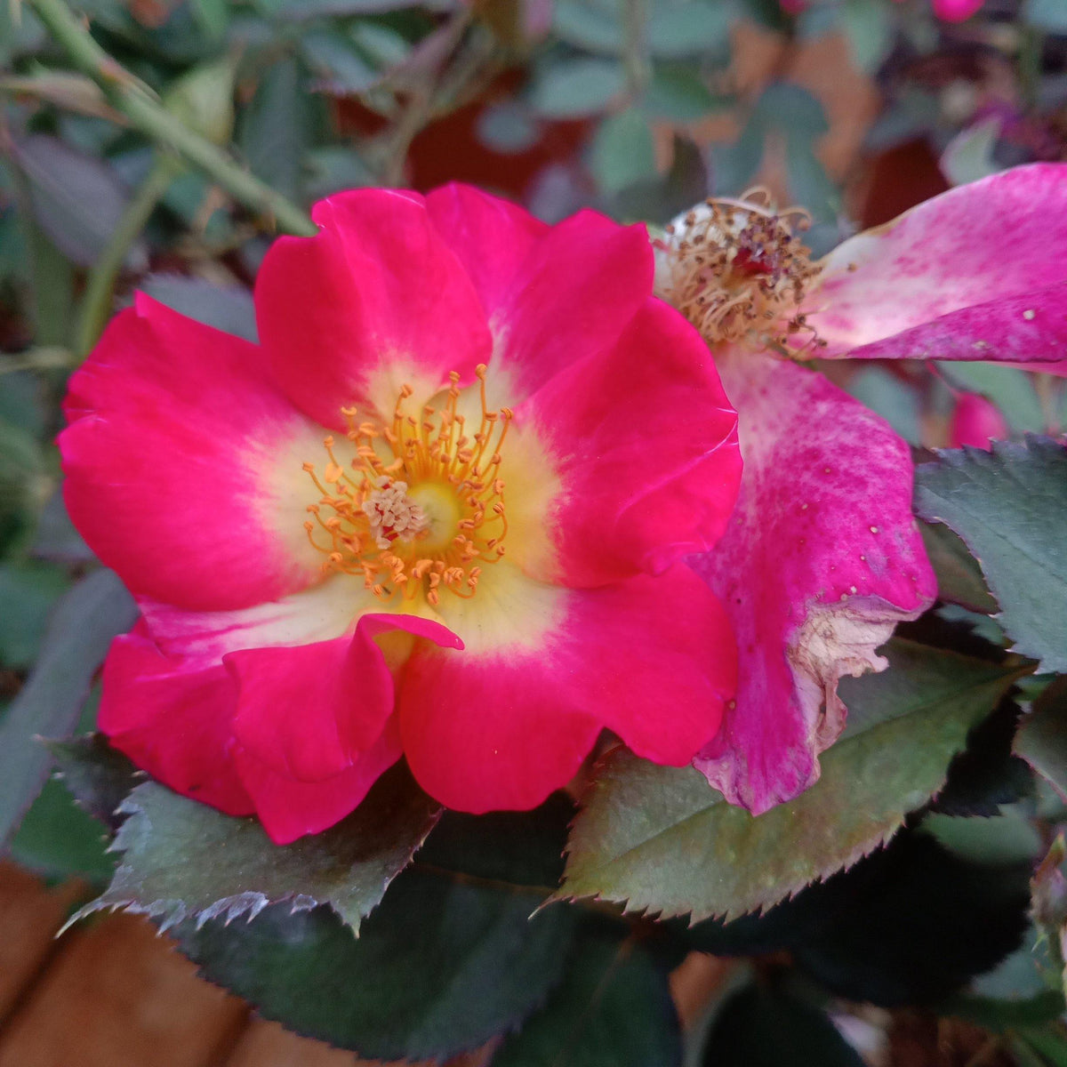 "Rosa floribunda- 8"" pot size - Jagtap Nursery's Garden Center"