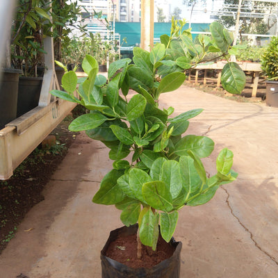 Urichites Iutea - Jagtap Nursery's Garden Center