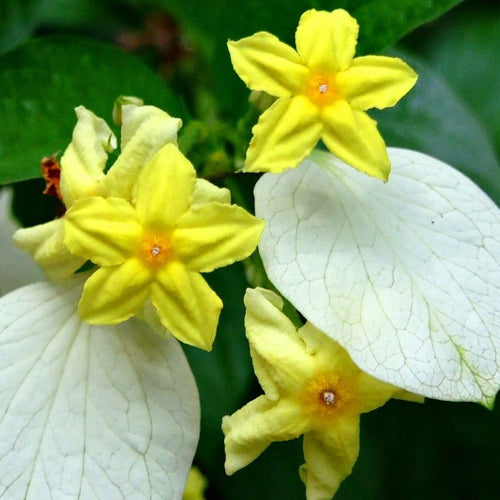 Mussaenda yellow (10X10) - Jagtap Nursery's Garden Center