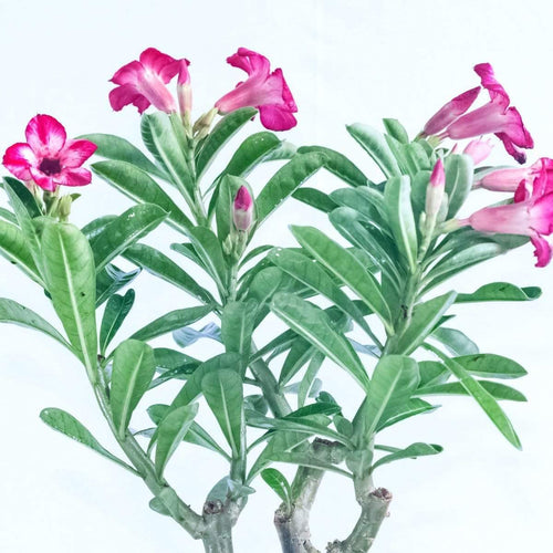 Desert Rose - Jagtap Nursery's Garden Center