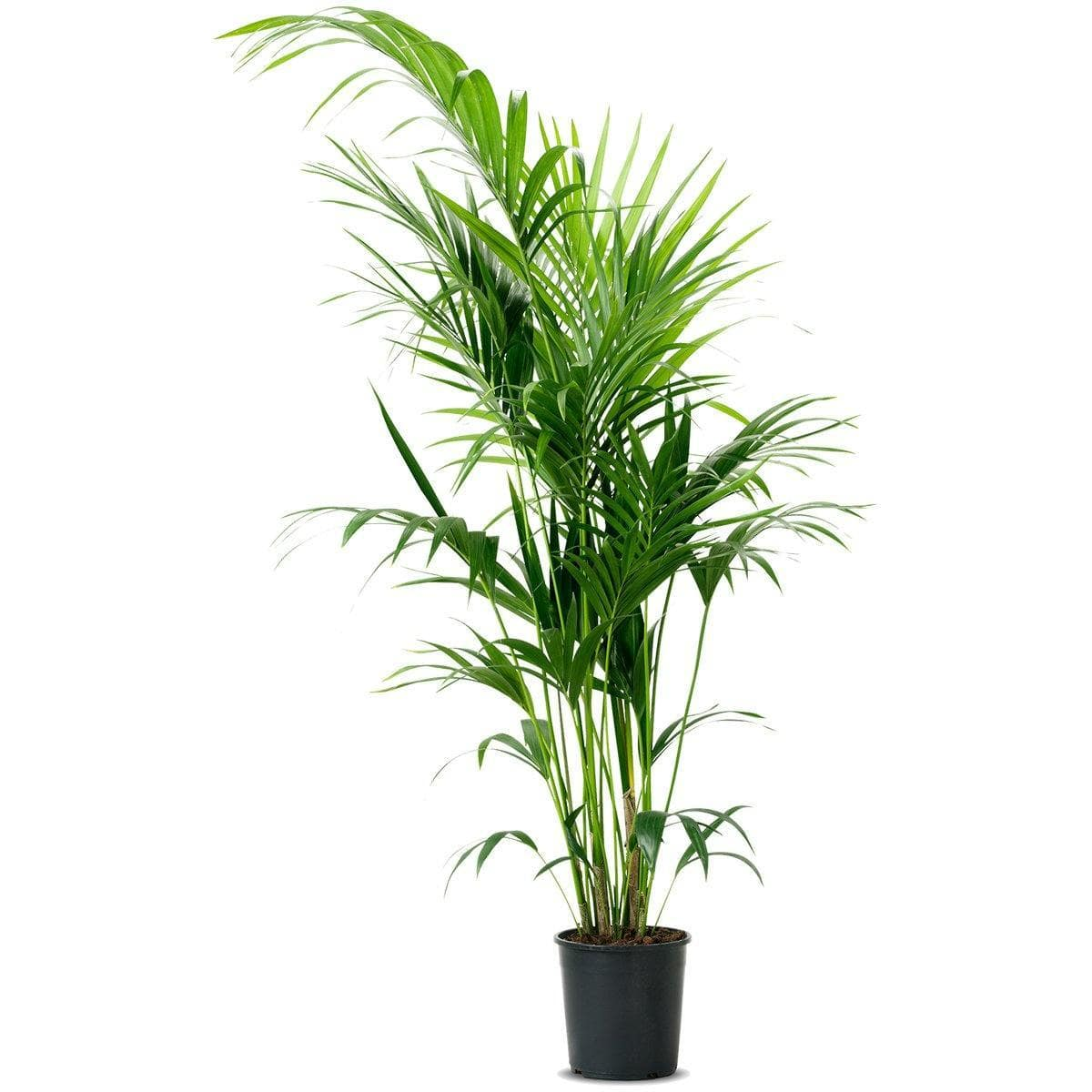 Areca Palm - Jagtap Nursery's Garden Center
