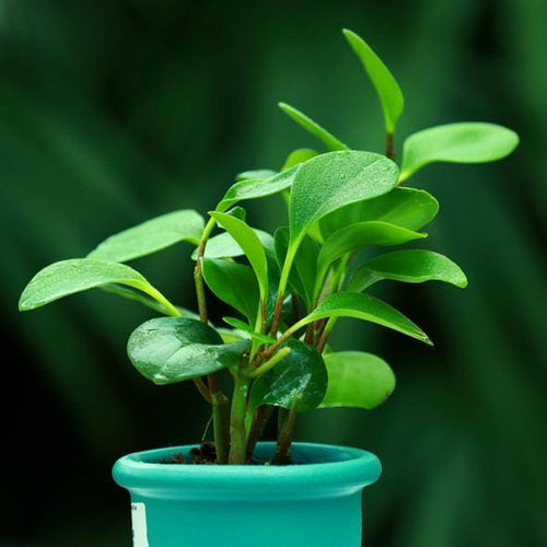 Baby Rubber Plant (Pepromia) - Jagtap Nursery's Garden Center