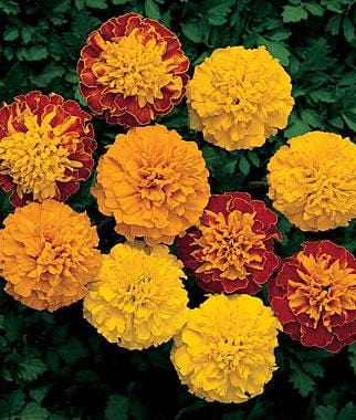 Marigold - Jagtap Nursery's Garden Center