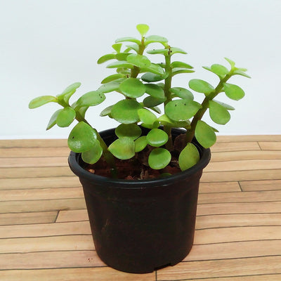 Jade Plant - Jagtap Nursery's Garden Center