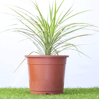 Dracaena bicolor white - Jagtap Nursery's Garden Center
