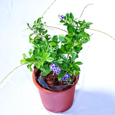 Duranta Purple - Jagtap Nursery's Garden Center