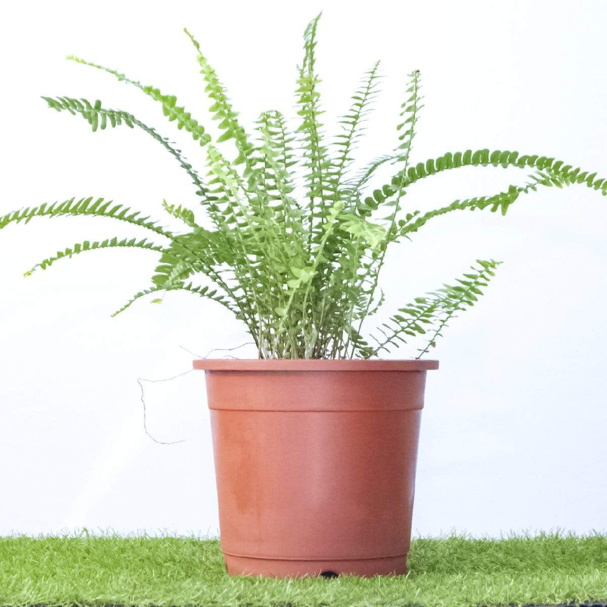 Sword Fern 'Green Lady' - Jagtap Nursery's Garden Center